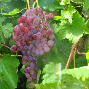 Home grown grapes from Steve Webbs back yard